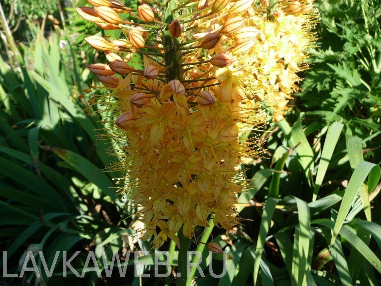 Садовые цветы эремурус фото