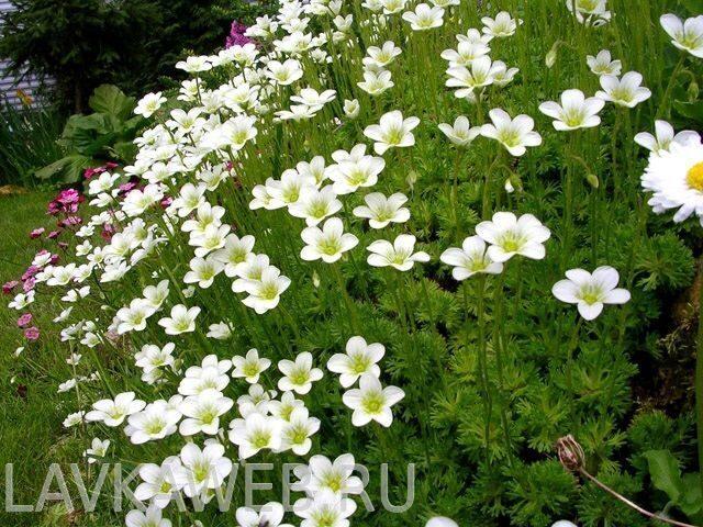 как называются белые цветочки цветут в мае